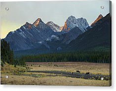 Moose Grazing At Sunset With Mountains Acrylic Print by Philippe Widling