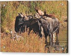 Moose Kiss Acrylic Print
