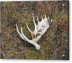 Moose Shed Acrylic Print by Adam Owen