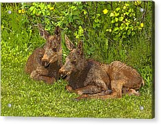 Moose Twins- Abstract Acrylic Print by Tim Grams
