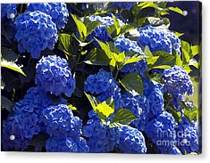 Mophead Hydrangeas Dry Brushed Acrylic Print by Sharon Talson