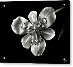 Morea Lily In Black And White Acrylic Print