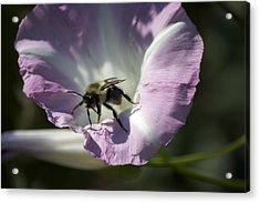 Morning Bumblebee Acrylic Print