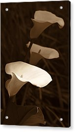 Morning Calla Lilies Sepia Acrylic Print by Jennie Marie Schell