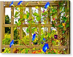 Acrylic Print featuring the photograph Morning Glory  by Ann Murphy