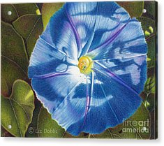 Morning Glory B Acrylic Print by Elizabeth Dobbs