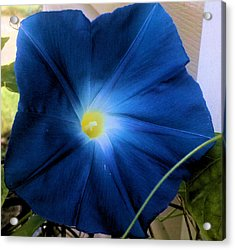 Morning Glory Blue Acrylic Print by Tammy Herrin