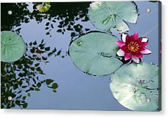 Morning Lilly Acrylic Print by Dan Menta
