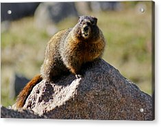 Morning Marmot Acrylic Print
