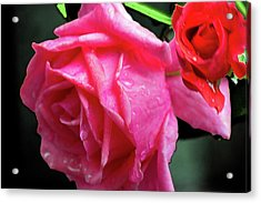 Morning Rose Acrylic Print by Barry Jones