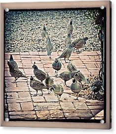 Morning Visitors On My Patio #quail Acrylic Print