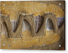 Mosasauras Teeth Acrylic Print by Garry Gay