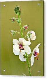 Acrylic Print featuring the photograph Moth Mullein by JD Grimes