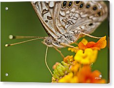 Moth On Flower Clusters Acrylic Print by Lisa  Spencer