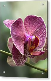 Moth Orchid Curvation Acrylic Print by Bill Tiepelman