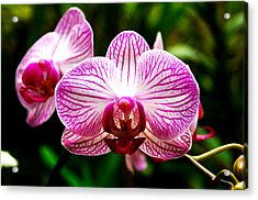 Acrylic Print featuring the photograph Moth Orchid by Pravine Chester