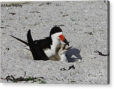 Mother And Baby Black Skimmer Acrylic Print by Barbara Bowen