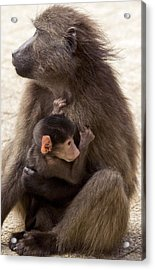 Mother And Baby Chacma Baboon Acrylic Print by Bob Gibbons