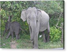 Mother Elephant And Baby Acrylic Print