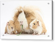 Mother Guinea Pig And Baby Guinea Acrylic Print by Mark Taylor