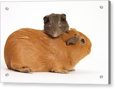 Mother Guinea Pig With Baby Guinea Pig Acrylic Print by Mark Taylor