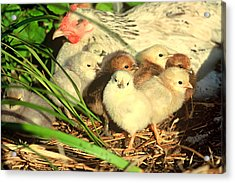 Mother Hen And Young Acrylic Print