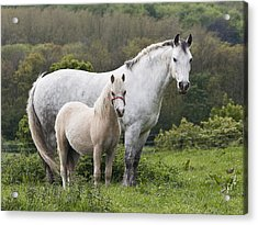 Mother Horses And Baby Horses Acrylic Print by DSW Creative Photography