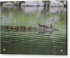 Mother Mallard And Ducklings Acrylic Print by Jeanne Kay Juhos
