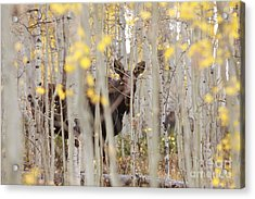 Mother Moose In The Aspens Acrylic Print