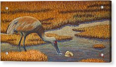 Mother Sandhill Crane Acrylic Print by Thomas Maynard