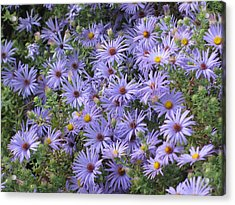 Acrylic Print featuring the photograph Mother's Asters by Shawn Hughes