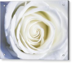 Mother's White Rose Acrylic Print