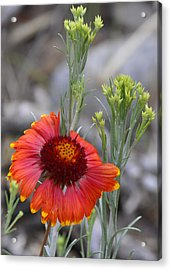 Mount Charleston Wildflowers Acrylic Print by Sandra Welpman