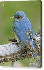 Mountain Bluebird Acrylic Print by Doug Herr