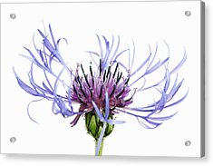 Mountain Cornflower (centaurea Montana) Against White Background Acrylic Print by Frank Krahmer