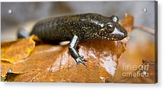 Mountain Dusky Salamander Acrylic Print