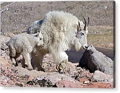 Acrylic Print featuring the photograph Mountain Goat Momma With Kid by Stephen  Johnson