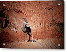 Mountain Goat Zion National Park Acrylic Print