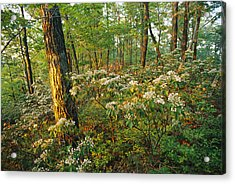 Mountain Laurel Blooming In A Hyner Acrylic Print by Skip Brown