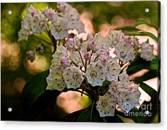 Mountain Laurel Flowers 2 Acrylic Print