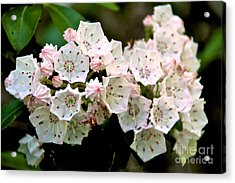 Mountain Laurel Flowers Acrylic Print