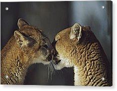 Mountain Lion Felis Concolor Cub Acrylic Print by David Ponton