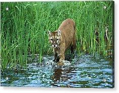 Mountain Lion Puma Concolor Wading Acrylic Print by Konrad Wothe