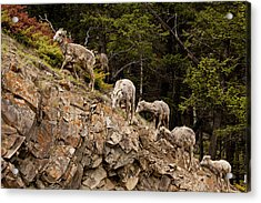 Mountain Sheep 1668 Acrylic Print by Larry Roberson