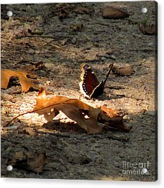 Mourning Cloak Acrylic Print by Marilyn Smith