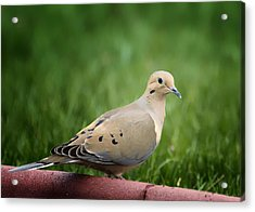 Mourning Dove Acrylic Print by Bill Tiepelman