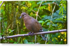 Mourning Dove Cooling Out Acrylic Print by David Alexander