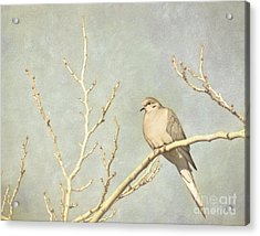 Mourning Dove In Winter Acrylic Print