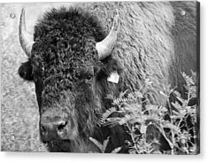 Mr Goodnight's Bison Acrylic Print by Melany Sarafis