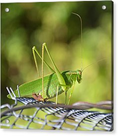 Acrylic Print featuring the photograph Mr Grasshopper by Mary Zeman